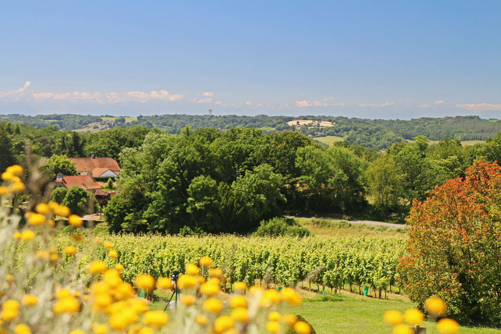 Les vignes, sur fond de Pyrénées